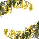 cadre mimosa